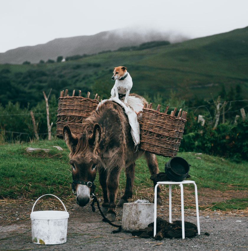 white-and-brown-dog-standing-atop-brown-donkey-carrying-3304975